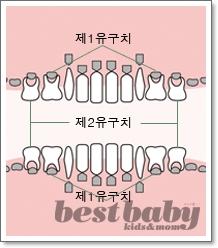 치아발달의 모든 것 ④ 25~36months : 20개의 유치